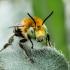 Gaurabitė - Anthophora sp. | Fotografijos autorius : Oskaras Venckus | © Macrogamta.lt | Šis tinklapis priklauso bendruomenei kuri domisi makro fotografija ir fotografuoja gyvąjį makro pasaulį.