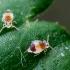 Podūra - Deuterosminthurus sp. | Fotografijos autorius : Oskaras Venckus | © Macrogamta.lt | Šis tinklapis priklauso bendruomenei kuri domisi makro fotografija ir fotografuoja gyvąjį makro pasaulį.