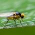 Minamusė - Liriomyza sp. | Fotografijos autorius : Oskaras Venckus | © Macrogamta.lt | Šis tinklapis priklauso bendruomenei kuri domisi makro fotografija ir fotografuoja gyvąjį makro pasaulį.