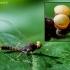 Lašalas - Centroptilum luteolum | Fotografijos autorius : Oskaras Venckus | © Macrogamta.lt | Šis tinklapis priklauso bendruomenei kuri domisi makro fotografija ir fotografuoja gyvąjį makro pasaulį.
