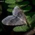 Miškinis žiemsprindis - Operophtera fagata | Fotografijos autorius : Oskaras Venckus | © Macrogamta.lt | Šis tinklapis priklauso bendruomenei kuri domisi makro fotografija ir fotografuoja gyvąjį makro pasaulį.