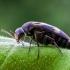 Paprastasis dygliavabalis - Variimorda villosa  | Fotografijos autorius : Oskaras Venckus | © Macrogamta.lt | Šis tinklapis priklauso bendruomenei kuri domisi makro fotografija ir fotografuoja gyvąjį makro pasaulį.