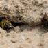 Crabronidae sp. ?  | Fotografijos autorius : Oskaras Venckus | © Macrogamta.lt | Šis tinklapis priklauso bendruomenei kuri domisi makro fotografija ir fotografuoja gyvąjį makro pasaulį.