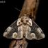 Rožinis pūkanugaris - Thyatira batis | Fotografijos autorius : Oskaras Venckus | © Macrogamta.lt | Šis tinklapis priklauso bendruomenei kuri domisi makro fotografija ir fotografuoja gyvąjį makro pasaulį.