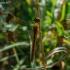 Rudajuostė skėtė - Sympetrum pedemontanum | Fotografijos autorius : Oskaras Venckus | © Macrogamta.lt | Šis tinklapis priklauso bendruomenei kuri domisi makro fotografija ir fotografuoja gyvąjį makro pasaulį.