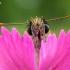Raudonbuožis storgalvis - Thymelicus sylvestris | Fotografijos autorius : Oskaras Venckus | © Macrogamta.lt | Šis tinklapis priklauso bendruomenei kuri domisi makro fotografija ir fotografuoja gyvąjį makro pasaulį.