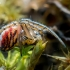 Dryžuotasis plunksnuolis - Mangora acalypha | Fotografijos autorius : Oskaras Venckus | © Macrogamta.lt | Šis tinklapis priklauso bendruomenei kuri domisi makro fotografija ir fotografuoja gyvąjį makro pasaulį.
