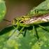 Žaliasis pjūklelis - Rhogogaster viridis   Fotografijos autorius : Oskaras Venckus   © Macrogamta.lt   Šis tinklapis priklauso bendruomenei kuri domisi makro fotografija ir fotografuoja gyvąjį makro pasaulį.