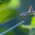 Paprastasis spragtukas - Roeseliana roeselii ♀, nimfa   Fotografijos autorius : Žilvinas Pūtys   © Macrogamta.lt   Šis tinklapis priklauso bendruomenei kuri domisi makro fotografija ir fotografuoja gyvąjį makro pasaulį.