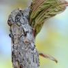 Ąžuolinis kuoduotis - Peridea anceps | Fotografijos autorius : Arūnas Eismantas | © Macrogamta.lt | Šis tinklapis priklauso bendruomenei kuri domisi makro fotografija ir fotografuoja gyvąjį makro pasaulį.