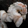 Ąžuolinis skiautenėlis - Panellus stipticus | Fotografijos autorius : Aleksandras Stabrauskas | © Macrogamta.lt | Šis tinklapis priklauso bendruomenei kuri domisi makro fotografija ir fotografuoja gyvąjį makro pasaulį.