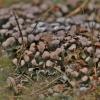 Šiurkščioji meškapėdė - Peltigera praetextata | Fotografijos autorius : Kęstutis Obelevičius | © Macrogamta.lt | Šis tinklapis priklauso bendruomenei kuri domisi makro fotografija ir fotografuoja gyvąjį makro pasaulį.