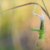 Žaliasis žiogas - Tettigonia viridissima   Fotografijos autorius : Tomas Ivašauskas   © Macrogamta.lt   Šis tinklapis priklauso bendruomenei kuri domisi makro fotografija ir fotografuoja gyvąjį makro pasaulį.
