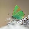 Žalsvasis varinukas (Callophrys rubi)   Fotografijos autorius : Tomas Ivašauskas   © Macrogamta.lt   Šis tinklapis priklauso bendruomenei kuri domisi makro fotografija ir fotografuoja gyvąjį makro pasaulį.