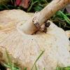 Žvynabudė - Macrolepiota sp.? | Fotografijos autorius : Kazimieras Martinaitis | © Macrogamta.lt | Šis tinklapis priklauso bendruomenei kuri domisi makro fotografija ir fotografuoja gyvąjį makro pasaulį.