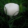 Baltasis balsvis - Leucoagaricus leucothites | Fotografijos autorius : Aleksandras Stabrauskas | © Macrogamta.lt | Šis tinklapis priklauso bendruomenei kuri domisi makro fotografija ir fotografuoja gyvąjį makro pasaulį.