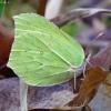 Citrinukas - Gonepteryx rhamni | Fotografijos autorius : Romas Ferenca | © Macrogamta.lt | Šis tinklapis priklauso bendruomenei kuri domisi makro fotografija ir fotografuoja gyvąjį makro pasaulį.