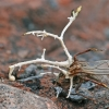 Polycephalomyces cf. ramosus   Fotografijos autorius : Gintautas Steiblys   © Macrogamta.lt   Šis tinklapis priklauso bendruomenei kuri domisi makro fotografija ir fotografuoja gyvąjį makro pasaulį.