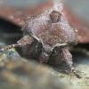 Daržinis pelėdgalvis - Lacanobia oleracea   Fotografijos autorius : Vidas Brazauskas   © Macrogamta.lt   Šis tinklapis priklauso bendruomenei kuri domisi makro fotografija ir fotografuoja gyvąjį makro pasaulį.