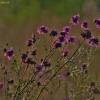 Didžiagalvė bajorė - Centaurea scabiosa   Fotografijos autorius : Kęstutis Obelevičius   © Macrogamta.lt   Šis tinklapis priklauso bendruomenei kuri domisi makro fotografija ir fotografuoja gyvąjį makro pasaulį.