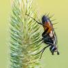 Dygliamusė - Eriothrix rufomaculata   Fotografijos autorius : Tomas Ivašauskas   © Macrogamta.lt   Šis tinklapis priklauso bendruomenei kuri domisi makro fotografija ir fotografuoja gyvąjį makro pasaulį.