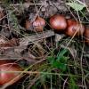 Geltonrudis baltikas - Tricholoma fulvum   Fotografijos autorius : Aleksandras Stabrauskas   © Macrogamta.lt   Šis tinklapis priklauso bendruomenei kuri domisi makro fotografija ir fotografuoja gyvąjį makro pasaulį.