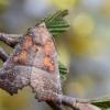 Gluosninis žieminukas - Scoliopteryx libatrix | Fotografijos autorius : Arūnas Eismantas | © Macrogamta.lt | Šis tinklapis priklauso bendruomenei kuri domisi makro fotografija ir fotografuoja gyvąjį makro pasaulį.
