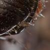 Grybas - Laboulbenia sp. | Fotografijos autorius : Žilvinas Pūtys | © Macrogamta.lt | Šis tinklapis priklauso bendruomenei kuri domisi makro fotografija ir fotografuoja gyvąjį makro pasaulį.