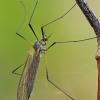Ilgakojis uodas - Tricyphona immaculata | Fotografijos autorius : Gintautas Steiblys | © Macrogamta.lt | Šis tinklapis priklauso bendruomenei kuri domisi makro fotografija ir fotografuoja gyvąjį makro pasaulį.