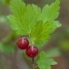 Kalninis serbentas - Ribes alpinum | Fotografijos autorius : Žilvinas Pūtys | © Macrogamta.lt | Šis tinklapis priklauso bendruomenei kuri domisi makro fotografija ir fotografuoja gyvąjį makro pasaulį.