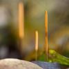Kiauraviduris pirštūnis - Macrotyphula fistulosa | Fotografijos autorius : Zita Gasiūnaitė | © Macrogamta.lt | Šis tinklapis priklauso bendruomenei kuri domisi makro fotografija ir fotografuoja gyvąjį makro pasaulį.