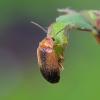 Liūnvabalis - Microcara testacea | Fotografijos autorius : Romas Ferenca | © Macrogamta.lt | Šis tinklapis priklauso bendruomenei kuri domisi makro fotografija ir fotografuoja gyvąjį makro pasaulį.
