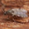 Mašalas - Culicoides nubeculosus ♀ | Fotografijos autorius : Žilvinas Pūtys | © Macrogamta.lt | Šis tinklapis priklauso bendruomenei kuri domisi makro fotografija ir fotografuoja gyvąjį makro pasaulį.