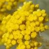 Maltiškasis šlamutis - Helichrysum melitense   Fotografijos autorius : Nomeda Vėlavičienė   © Macrogamta.lt   Šis tinklapis priklauso bendruomenei kuri domisi makro fotografija ir fotografuoja gyvąjį makro pasaulį.