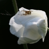 Marmurinis kryžiuotis - Araneus marmoreus   Fotografijos autorius : Agnė Našlėnienė   © Macrogamta.lt   Šis tinklapis priklauso bendruomenei kuri domisi makro fotografija ir fotografuoja gyvąjį makro pasaulį.