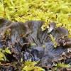 Šunvaistė meškapėdė - Peltigera canina | Fotografijos autorius : Kazimieras Martinaitis | © Macrogamta.lt | Šis tinklapis priklauso bendruomenei kuri domisi makro fotografija ir fotografuoja gyvąjį makro pasaulį.