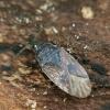 Miškinė dirvablakė - Drymus sylvaticus ? | Fotografijos autorius : Vidas Brazauskas | © Macrogamta.lt | Šis tinklapis priklauso bendruomenei kuri domisi makro fotografija ir fotografuoja gyvąjį makro pasaulį.