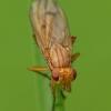 Sraigžudė - Tetanocera sp.   Fotografijos autorius : Vidas Brazauskas   © Macrogamta.lt   Šis tinklapis priklauso bendruomenei kuri domisi makro fotografija ir fotografuoja gyvąjį makro pasaulį.
