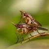 Sraigžudė - Limnia unguicornis | Fotografijos autorius : Tomas Ruginis | © Macrogamta.lt | Šis tinklapis priklauso bendruomenei kuri domisi makro fotografija ir fotografuoja gyvąjį makro pasaulį.