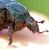 Niūraspalvis auksavabalis - Osmoderma barnabita | Fotografijos autorius : Agnė Našlėnienė | © Macrogamta.lt | Šis tinklapis priklauso bendruomenei kuri domisi makro fotografija ir fotografuoja gyvąjį makro pasaulį.