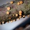 Paprastasis raudonspuogis | Coral spot | Nectria cinnabarina | Fotografijos autorius : Darius Baužys | © Macrogamta.lt | Šis tinklapis priklauso bendruomenei kuri domisi makro fotografija ir fotografuoja gyvąjį makro pasaulį.