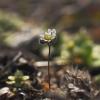 Pavasarinė ankstyvė - Draba verna   Fotografijos autorius : Vidas Brazauskas   © Macrogamta.lt   Šis tinklapis priklauso bendruomenei kuri domisi makro fotografija ir fotografuoja gyvąjį makro pasaulį.