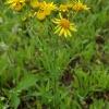 Pievinė žilė - Jacobaea vulgaris  | Fotografijos autorius : Gintautas Steiblys | © Macrogamta.lt | Šis tinklapis priklauso bendruomenei kuri domisi makro fotografija ir fotografuoja gyvąjį makro pasaulį.
