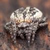 Pilkšvapilvis landuolis - Nuctenea silvicultrix ♀ | Fotografijos autorius : Žilvinas Pūtys | © Macrogamta.lt | Šis tinklapis priklauso bendruomenei kuri domisi makro fotografija ir fotografuoja gyvąjį makro pasaulį.