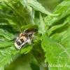 Raštuotasis auksavabalis (Trichius fasciatus) | Fotografijos autorius : Aleksandras Naryškin | © Macrogamta.lt | Šis tinklapis priklauso bendruomenei kuri domisi makro fotografija ir fotografuoja gyvąjį makro pasaulį.