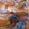 Reliktinis niūravabalis - Zilora obscura   Fotografijos autorius : Vitalii Alekseev   © Macrogamta.lt   Šis tinklapis priklauso bendruomenei kuri domisi makro fotografija ir fotografuoja gyvąjį makro pasaulį.