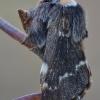 Rudeninis verpikas - Poecilocampa populi | Fotografijos autorius : Arūnas Eismantas | © Macrogamta.lt | Šis tinklapis priklauso bendruomenei kuri domisi makro fotografija ir fotografuoja gyvąjį makro pasaulį.