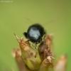 Variaspragė - Chaetocnema sp. | Fotografijos autorius : Vidas Brazauskas | © Macrogamta.lt | Šis tinklapis priklauso bendruomenei kuri domisi makro fotografija ir fotografuoja gyvąjį makro pasaulį.