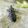 Straubliukas - Cossonus cylindricus | Fotografijos autorius : Kazimieras Martinaitis | © Macrogamta.lt | Šis tinklapis priklauso bendruomenei kuri domisi makro fotografija ir fotografuoja gyvąjį makro pasaulį.