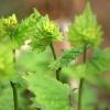 Vaistinė česnakūnė - Alliaria petiolata | Fotografijos autorius : Ramunė Vakarė | © Macrogamta.lt | Šis tinklapis priklauso bendruomenei kuri domisi makro fotografija ir fotografuoja gyvąjį makro pasaulį.